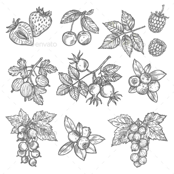 Sketches of Garden and Wild Berries - Food Objects