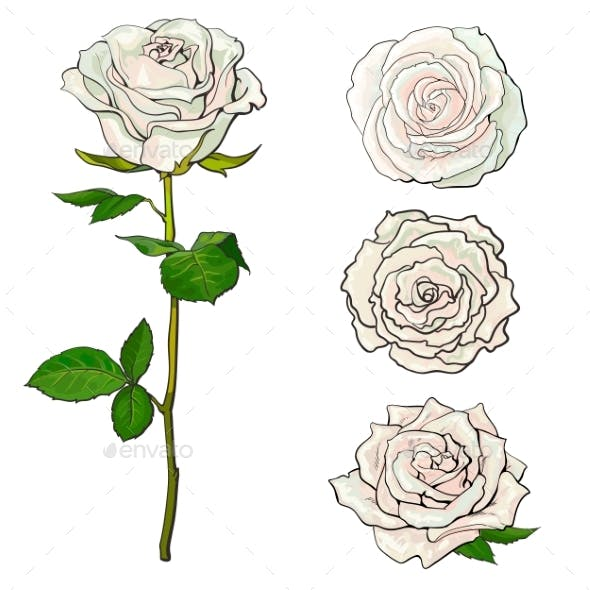 White Rose Blooms Set with Branch of Summer Flower