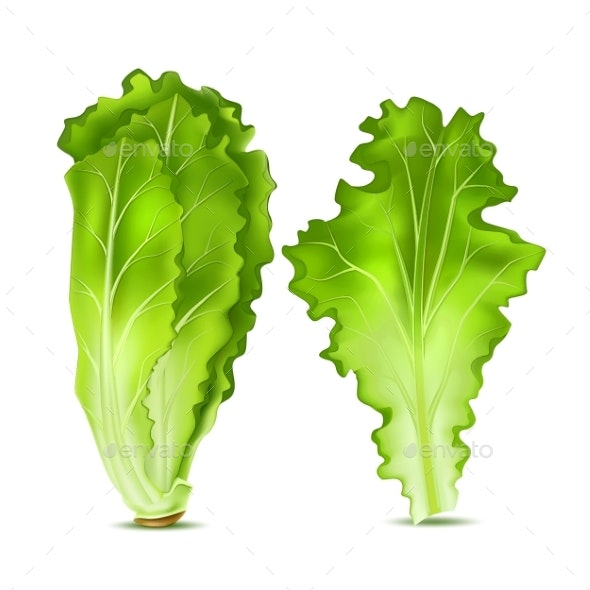 Vector Realistic Lettuce Salad Leaves - Food Objects
