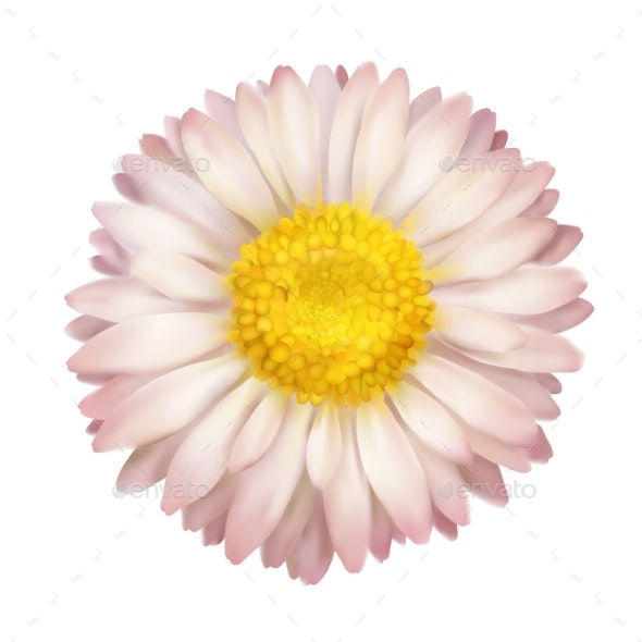 Daisy Flower Isolated - Flowers & Plants Nature