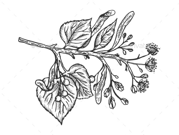 Linden Branch Engraving Vector Illustration - Food Objects