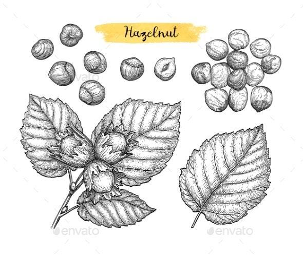 Ink Sketch of Hazelnut - Food Objects