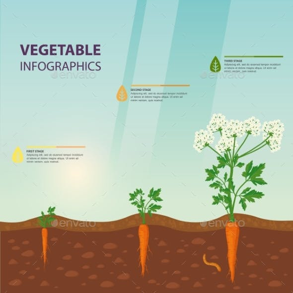 Infographic for Carrot Growing Stages