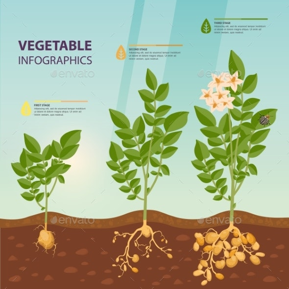Infographic or Infochart of Potato Growth Stages - Food Objects