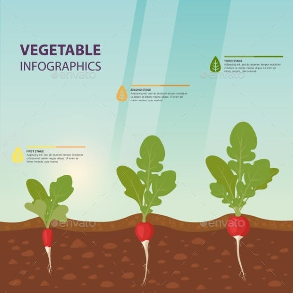 Radish Infographics with Growth Stages