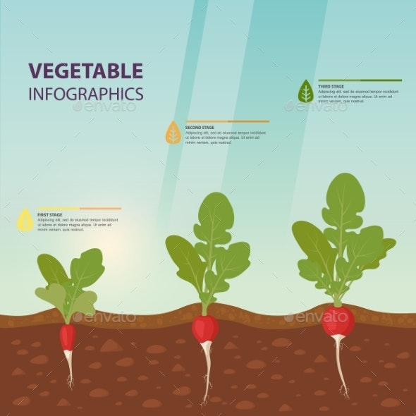 Radish Infographics with Growth Stages - Food Objects