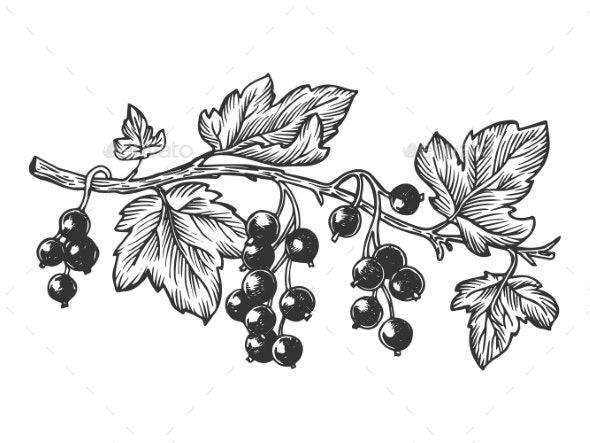 Branch of Currant Engraving Vector Illustration - Food Objects