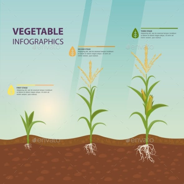 Maize or Corn Growth Stages in Form of Infographic
