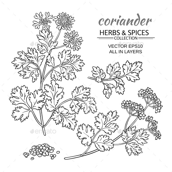 Coriander Vector Set - Food Objects