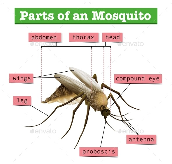Different Parts Of Mosquito - Animals Characters