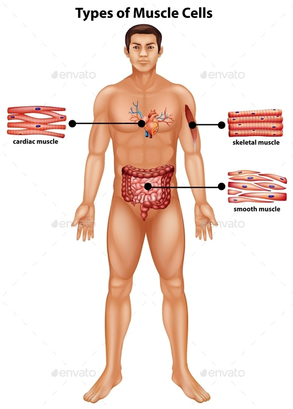 Diagram Showing Types Of Muscle Cells - People Characters