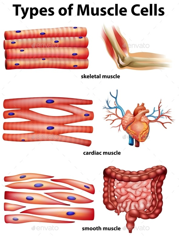 Diagram Showing Types Of Muscle Cells - Health/Medicine Conceptual