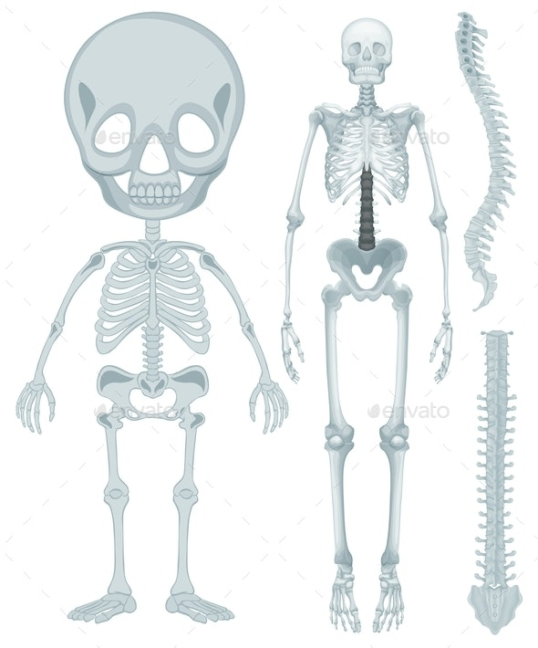 Skeletal System For Human Being - People Characters