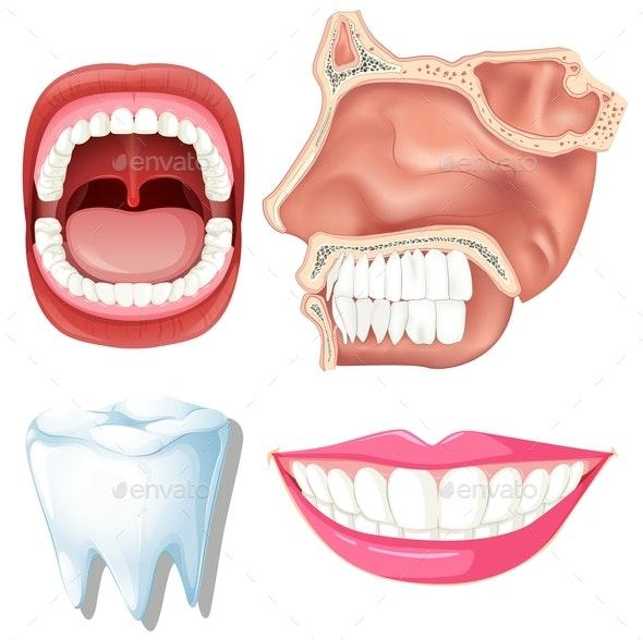 Anatomy of Human Teeth - Health/Medicine Conceptual