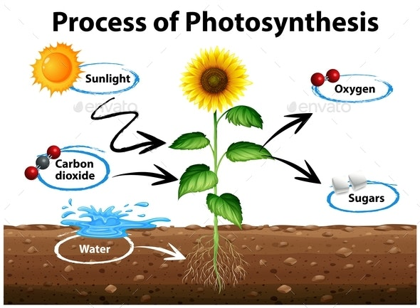 Diagram Showing Sunflower and Process of Photosynthesis by ...