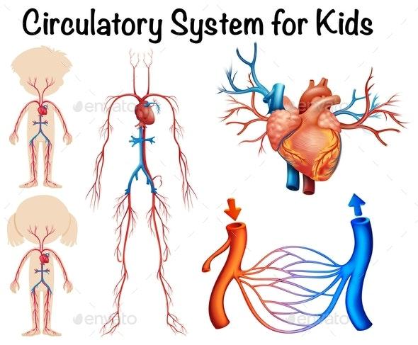 Circulatory System For Kids - Health/Medicine Conceptual