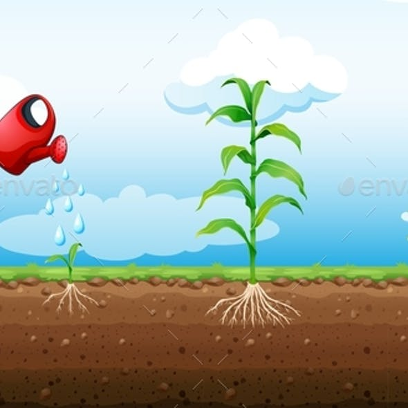 Stages Of Corn Plant Growth