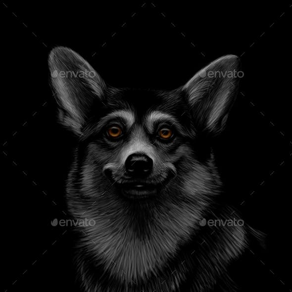 Portrait of a Welsh Corgi Head on Black