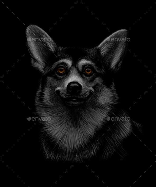 Portrait of a Welsh Corgi Head on Black - Animals Characters