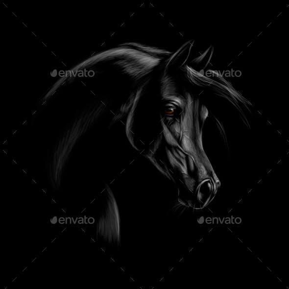Portrait of an Arabian Horse Head on a Black