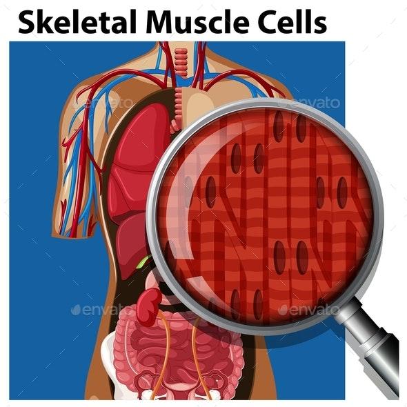 A Vector Of Skeletal Muscle Cells - Health/Medicine Conceptual