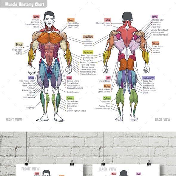 Muscle Anatomy Сhart