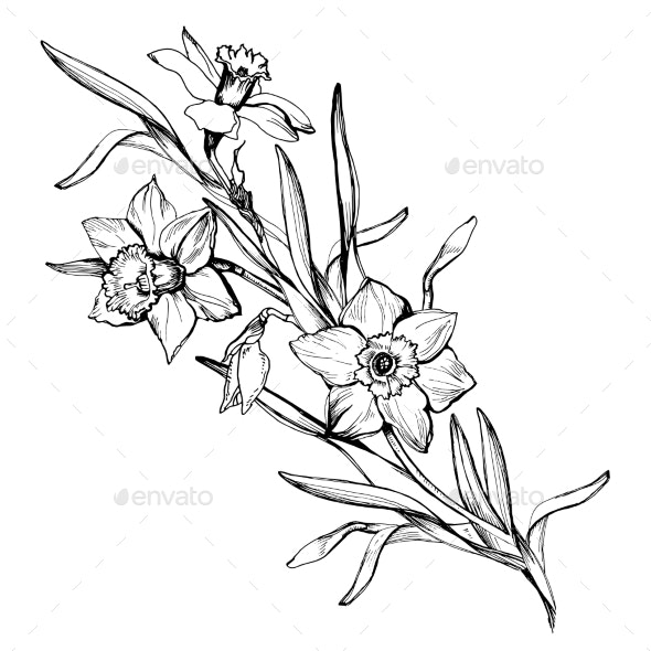 Isolated Branch of Hand Drawn Flowers Daffodils - Flowers & Plants Nature