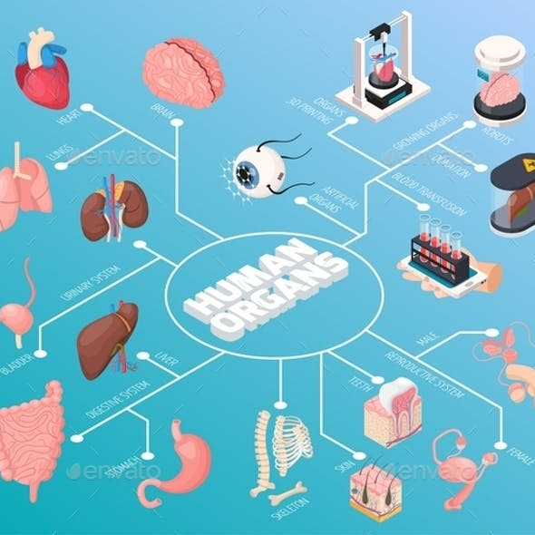 Human Organs Isometric Flowchart