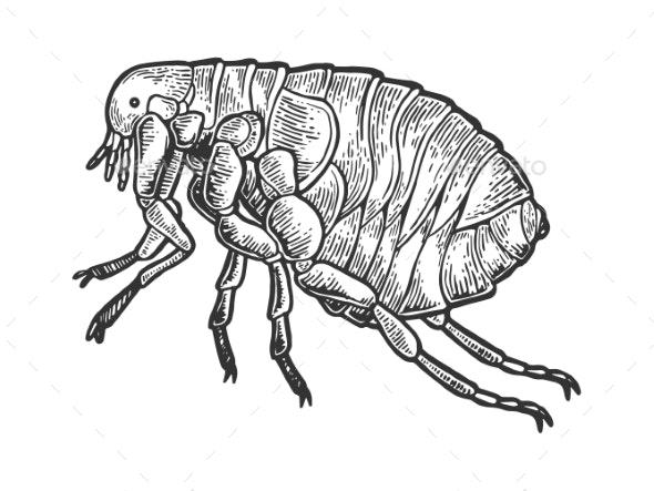 Flea Louse Insect Engraving Vector Illustration - Miscellaneous Vectors