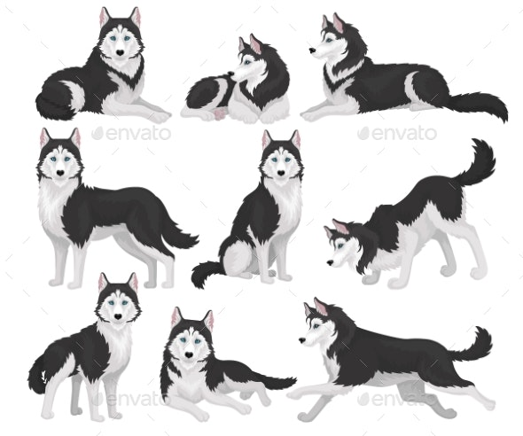 Collection of Siberian Husky in Various Poses - Animals Characters