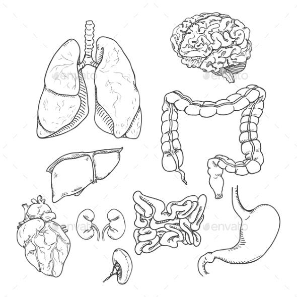 Vector Sketch Set of Anatomical Human Organs - Miscellaneous Vectors