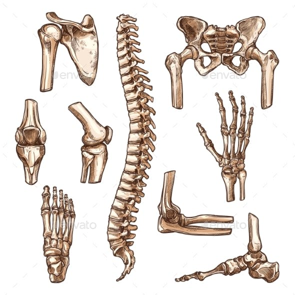 Bone and Joint of Human Skeleton Sketch Set