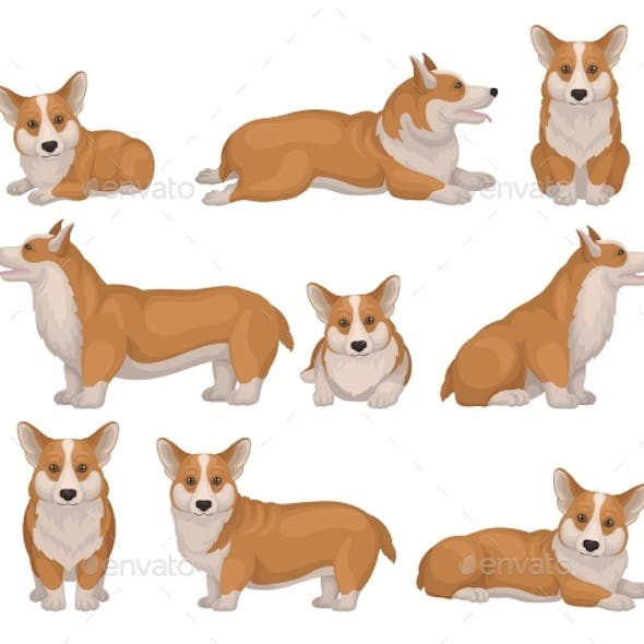 Set of Welsh Corgi Dog in Different Poses
