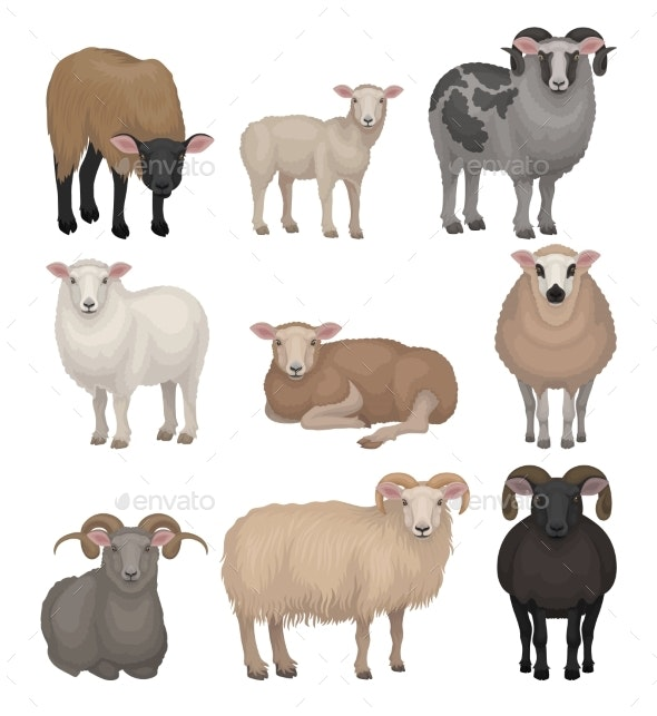 Flat Vector Set of Cute Sheeps and Rams. Farm - Animals Characters