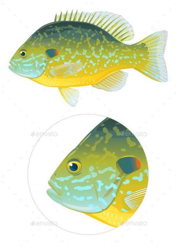 Pumpkinseed Sunfish Illustration - Animals Characters