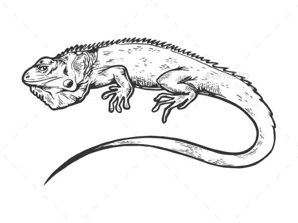 Iguana Animal Engraving Vector Illustration - Animals Characters