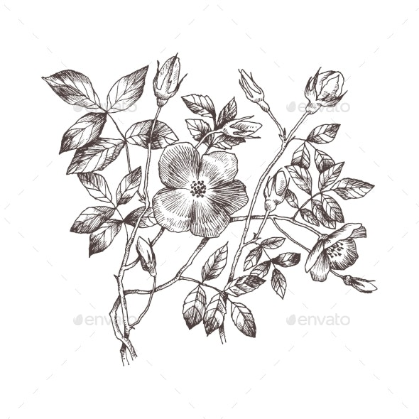 Wild Roses Blossom Branch Isolated on White - Flowers & Plants Nature