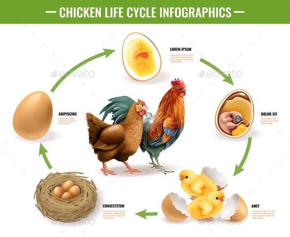 Chicken Life Cycle Infographics - Animals Characters