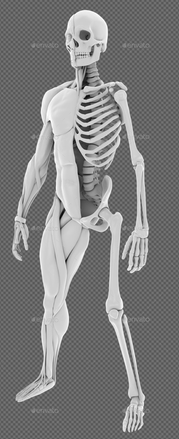 Human Muscle and Skull - Objects 3D Renders