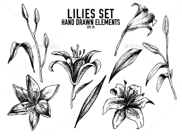 Vector Collection of Lilies - Flowers & Plants Nature