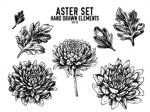 Vector Collection of Hand Drawn Aster Set - Flowers & Plants Nature