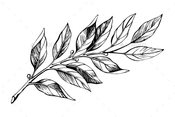 Laurel Branch Sketch Vector - Flowers & Plants Nature