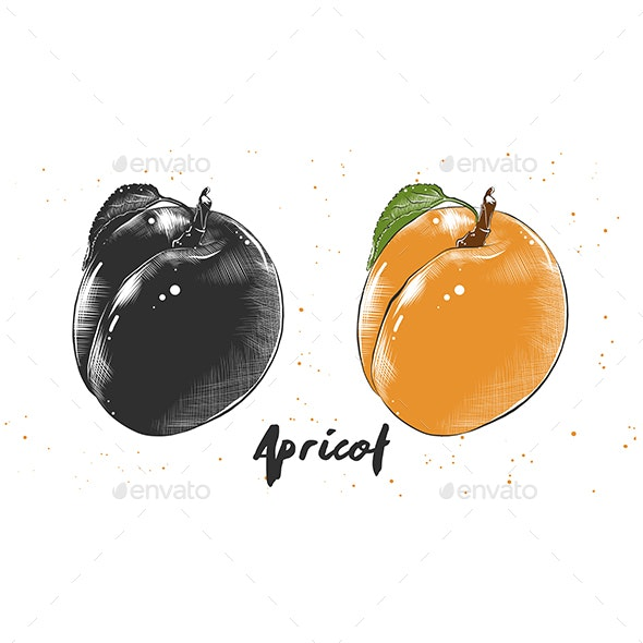 Hand Drawn Sketch of Apricot - Food Objects