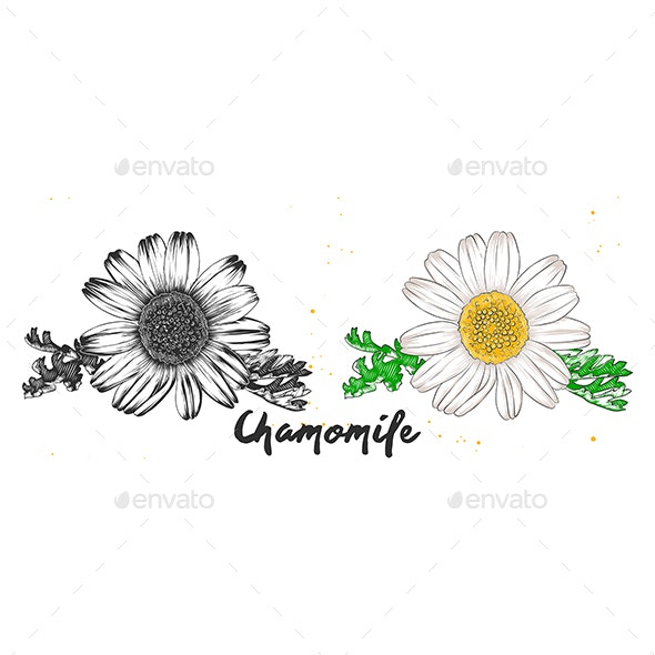 Hand Drawn Sketch of Chamomile Flower - Flowers & Plants Nature