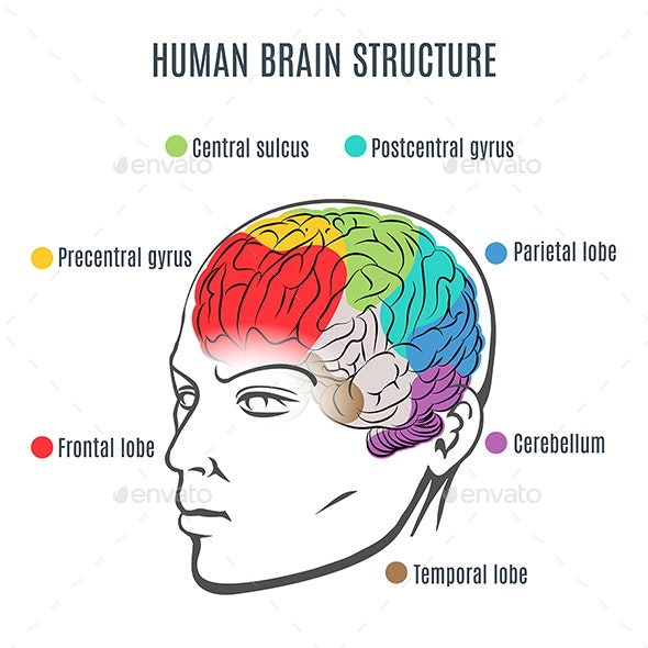 Human Brain Structure - Health/Medicine Conceptual
