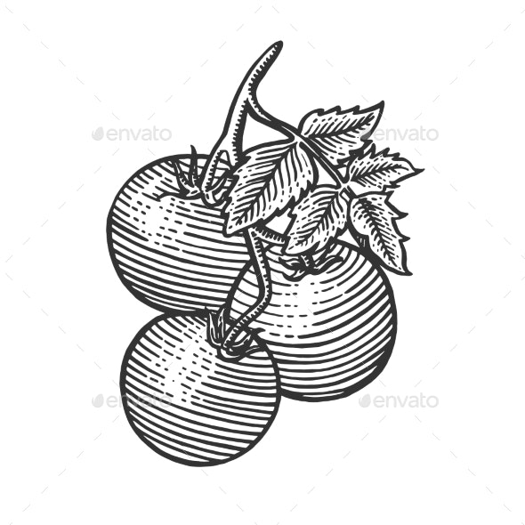 Tomato Sketch Engraving Vector Illustration - Food Objects