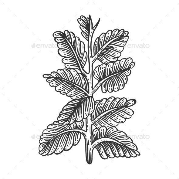 Nicotiana Tobacco Plant Sketch Engraving Vector - Flowers & Plants Nature