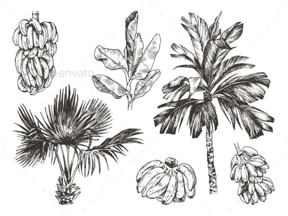 Vector Illustration of Palm Tree and Banana Fruit - Flowers & Plants Nature