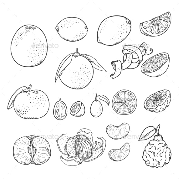 Vector Sketch Set of All Citrus Fruits - Food Objects