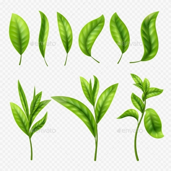 Vector Realistic Tea Leaves on Transparent - Flowers & Plants Nature